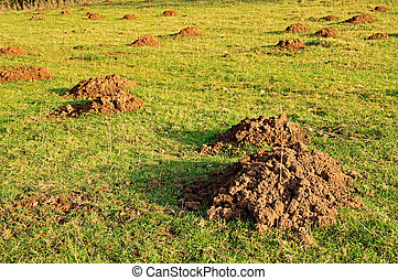 mole hills - damage created by moles causing molehills in...
