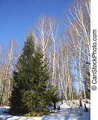 White birches, clear blue winter sky and pine trees