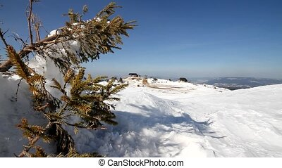 Pine tree on snow