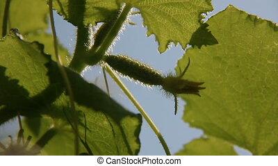 Cucumber close-up