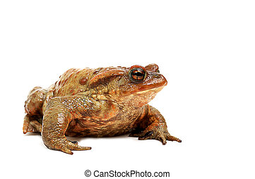 Old ,fat,ugly frog,isolated on white background