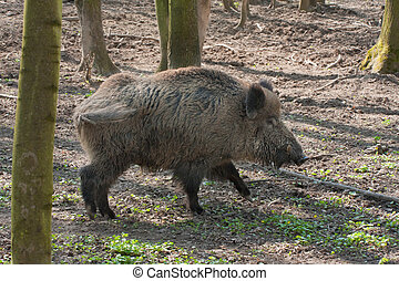 boar in the forest - boar feeding in the forest