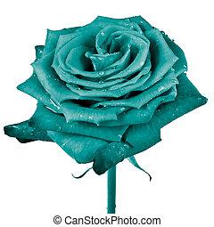 rose petals - close up of rose petals