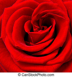 red rose - close up of red rose