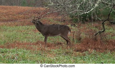 Whitetail deer buck rubbing branche - A large whitetail deer...