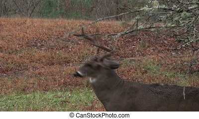 Whitetail deer buck rubbing branche