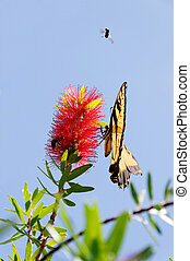 Pollination Time - A tiger swallowtail butterfly on a red...
