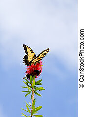 Pollination - A tiger swallowtail butterfly and two bumble...