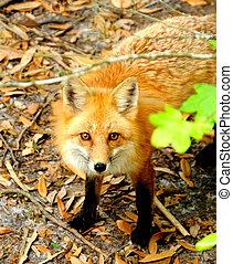 Red Fox in the Woods - A pred fox in the woods.