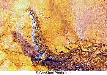 Jerusalem Biblical Zoo - Monitor lizard in Jerusalem...