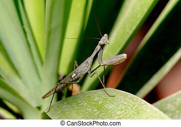 Nature and Wildlife Photos - Praying Mantis - Praying Mantis...