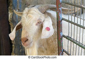 WILDLIFE-FARM-ANIMAL-WHITE-GOAT - Portrait of a white goat...