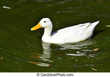 Wildlfe Photos - Duck - One white duck swim in a green pond.