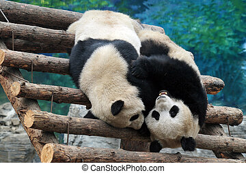 Panda Bears in Beijing China - Panda bears in Beijing Zoo,...