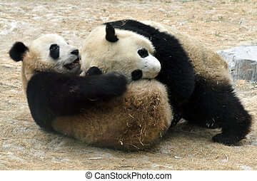 Panda Bears in Beijing China - Panda bears in Beijing Zoo,...