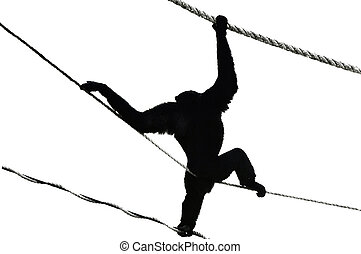 Silhouette of a Chimpanzee - A silhouette of a Chimpanzee in...