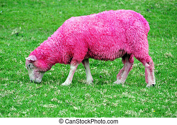 Pink Sheep - Pink sheep are grazing in a green field in New...