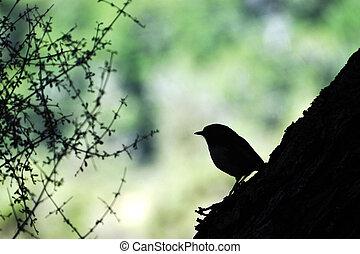 Stewart Island Robin Bird - Silhouette of a Stweart Island...