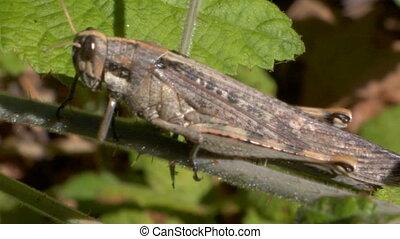 Grasshopper CU