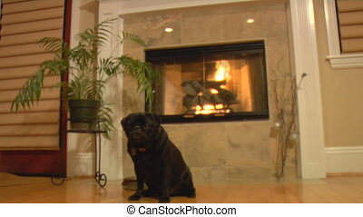 Pug dolly in - A cute shot of a black pug dog sitting by the...