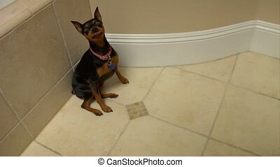 Min pin lay - A well behaved dog lays down on command. This...