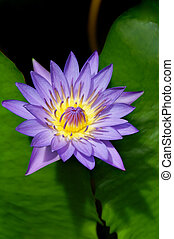 Wonderous Water Lily - Day blooming purple tropical water...