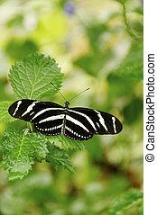 Zebra Longwing in Garden - A zebra longwing butterfly on...