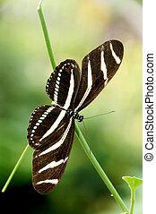 Zebra Longwing - A zebra longwing butterfly on a twig.