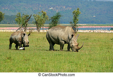 Rhinoceros in the wild Africa Kenya Lake Nakuru