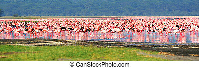 African flamingos - African safari, flamingos in the lake...
