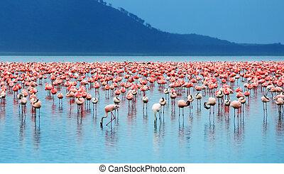 African flamingos - African safari, flamingos in the lake...
