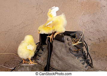 Cute chicks on old shoes