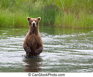 Alaskan Brown bear on hind legs - An Alaskan brown bear...