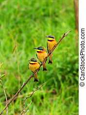 Tree Bee Eaters on the branch Africa Kenya Masai Mara