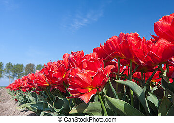 Endless row of red tulips up to the horizon
