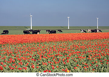 Dutch landscape: a dike with windmills, cows and tulips -...