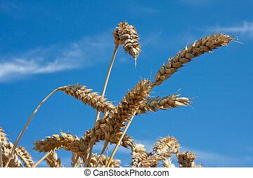 藍色, 天空, 小麥, 針對, 成熟
