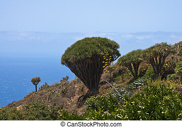Dragon tree at coast of La Palma