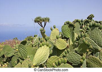Big Cactus at La Palma, Spain