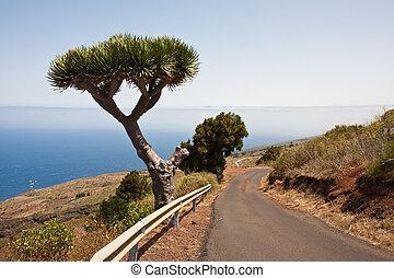Dragon tree at the coast of La Palma, Canary Islands