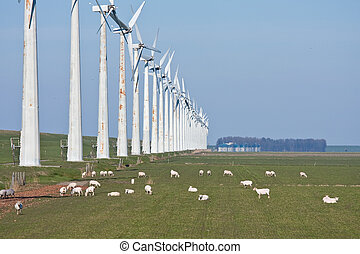 Grazing sheep in springtime beside a row of windmills