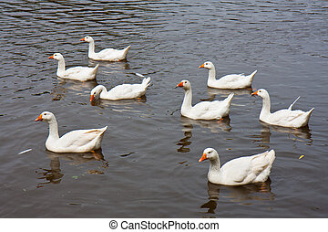 Eight wild geese swimming in a lake