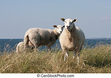 Grazing sheep with behind them the blue sea