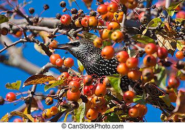 Starling eats fruits hidden in apple tree - Starling eats...
