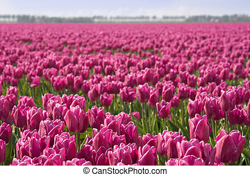 Field of purple tulips in the Netherlands - Big field of...