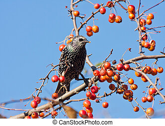 A spotted starling eating fruits in an apple tree - A...