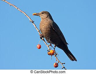 A blackbird eating fruits in an apple tree - A blackbird...