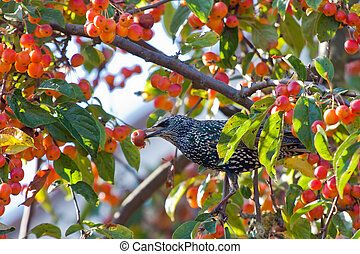A spotted starling eating fruits in an apple tree