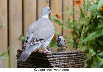 A big dove meets al little house sparrow at a garden...