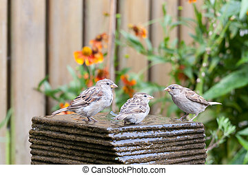 Three little house sparrows at a garden fountain